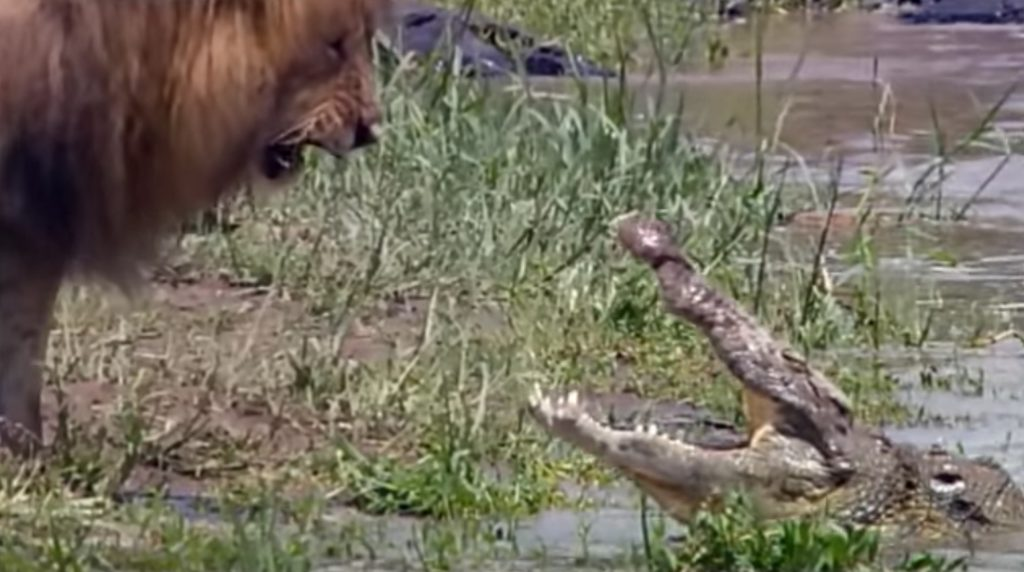 ヘビー級の雄ライオンがクロコダイルを追い払う!雄叫びがかっこいい!!