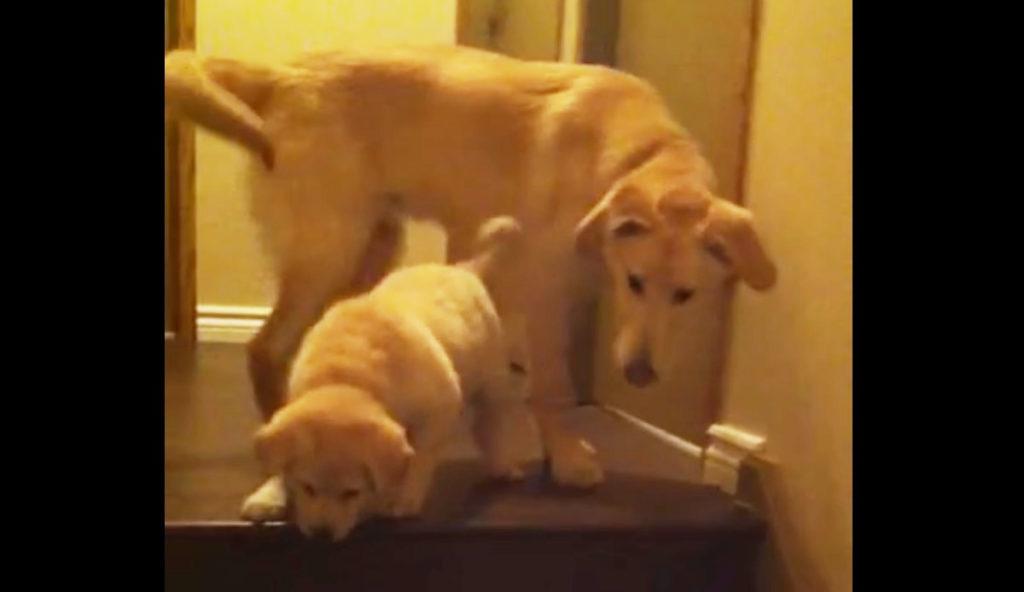 階段が降りられない子犬。根気よく見守る兄犬は、簡単に手を貸したりはしない。