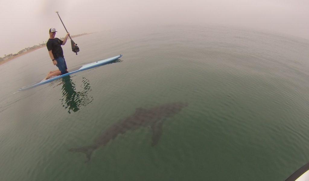パドルボートをしていたらホオジロザメが真下に出現!!