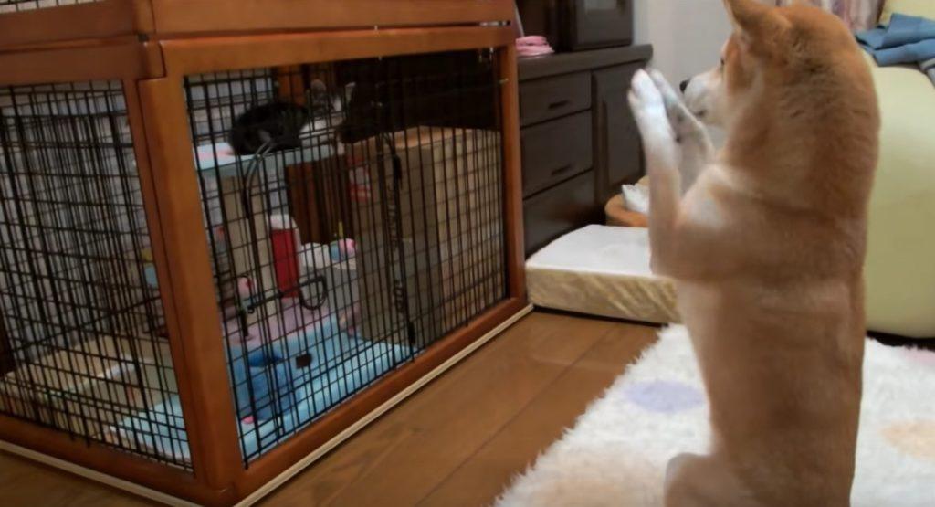 新入り猫ちゃんに、なぜか「お願いポーズ」をする柴犬w