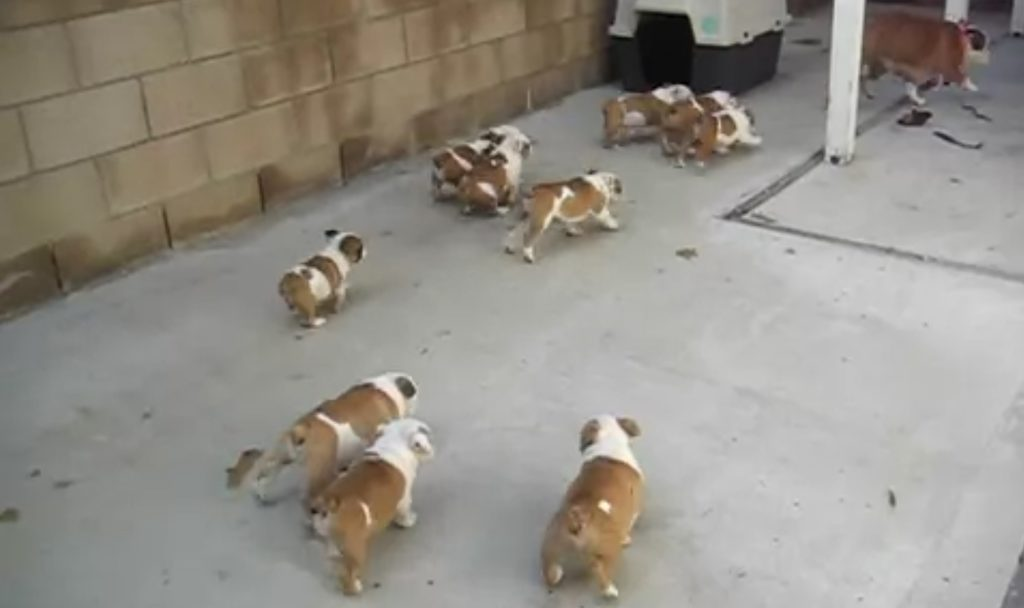 子沢山も大変。。母ブルドッグがミルクを求めた子犬たちに追われて逃走wwwwwwww
