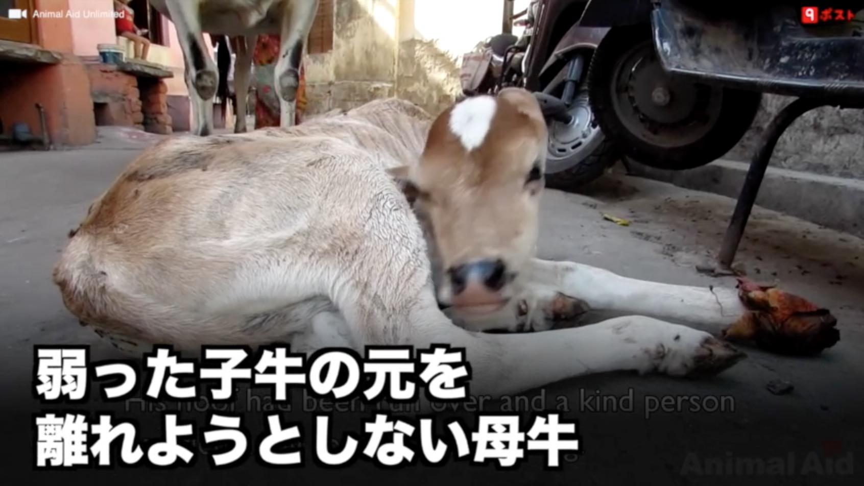 弱った子牛の元を離れようとしない母牛の姿に涙。。