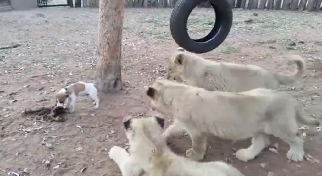 小さいのに超パワフル!エサを独り占めする犬にライオンもたじたじ。。