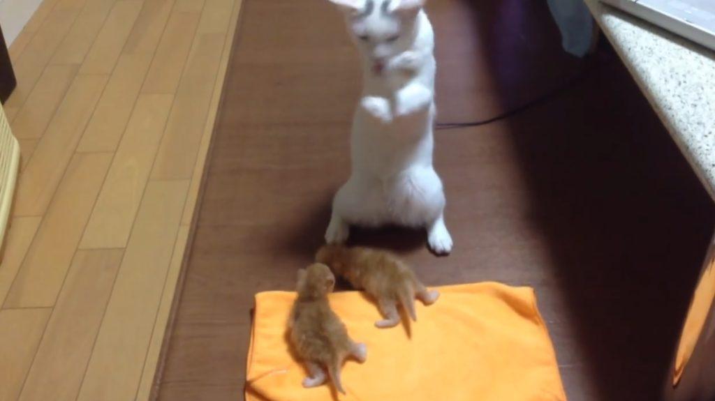 【キュン死】赤ちゃん猫の扱い方がわからなくて踊り始めちゃう猫が可愛いwwwwwww