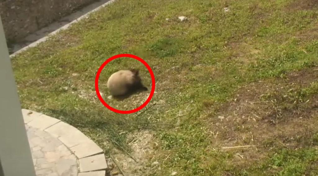 なんか丸いのが転がってきたw 変わった趣味のパンダが話題にwwwww