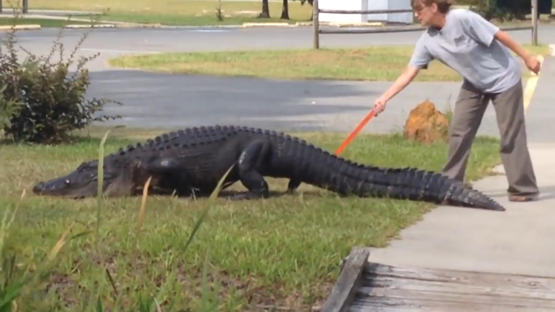 おばちゃん強いw 散歩する巨大ワニを普通にペシペシ叩いて池に戻すwww