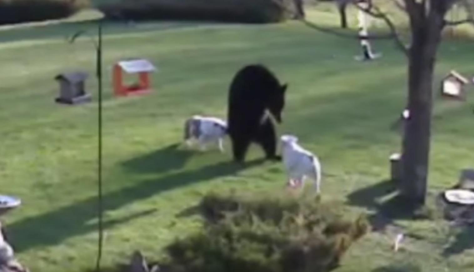 熊とブルドッグが睨み合い臨戦体制!緊張の瞬間!!