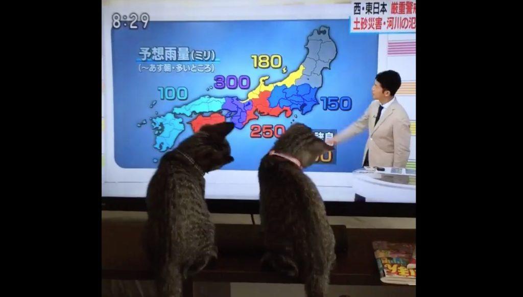 猫も台風情報は気になるようだww