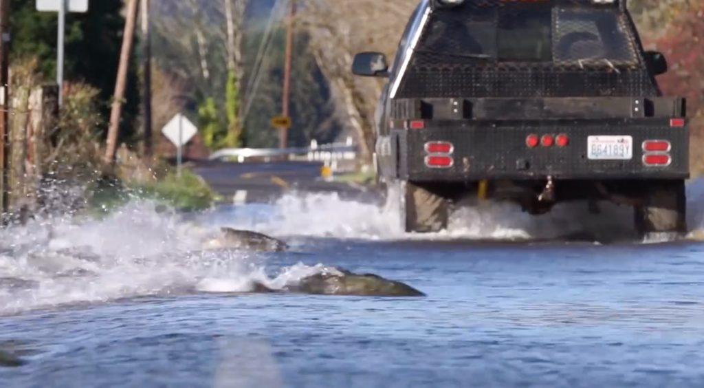 鮭が命がけで道路を横断!生命の力強さを感じずにはいられない