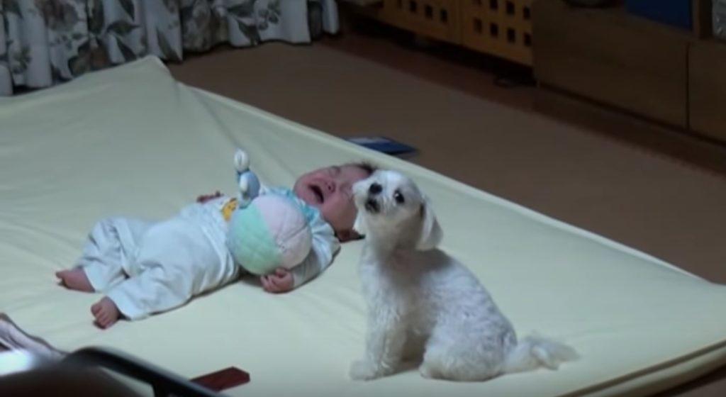 赤ちゃんを泣き止ませる犬が凄い!!