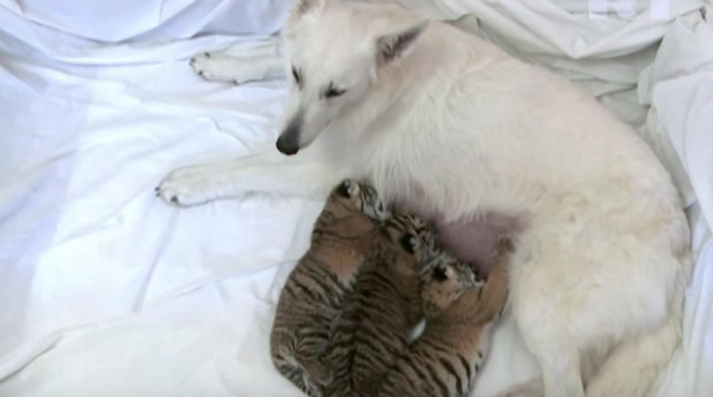 育児放棄されたトラの赤ちゃん3兄弟の母親は犬!育児放棄の理由とは?