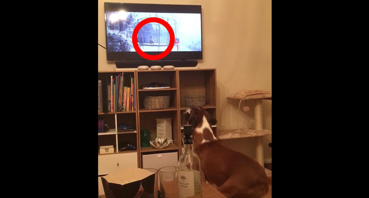 完全にシンクロw テレビでトランポリンをする犬を見た犬の反応にニヤニヤが止まらないwwwwwww
