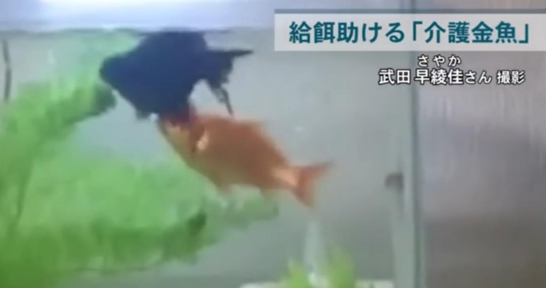 うまく泳げない金魚を懸命に介護する仲間の愛に感動!!
