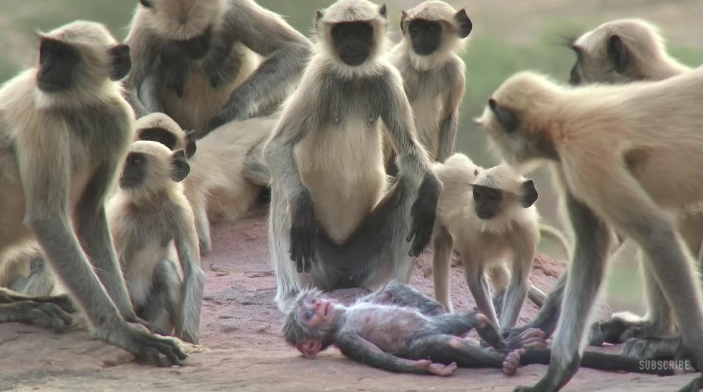 ロボット猿の「死」に直面した猿たち、、人間のように抱き合って嘆き悲しむ姿に涙。。