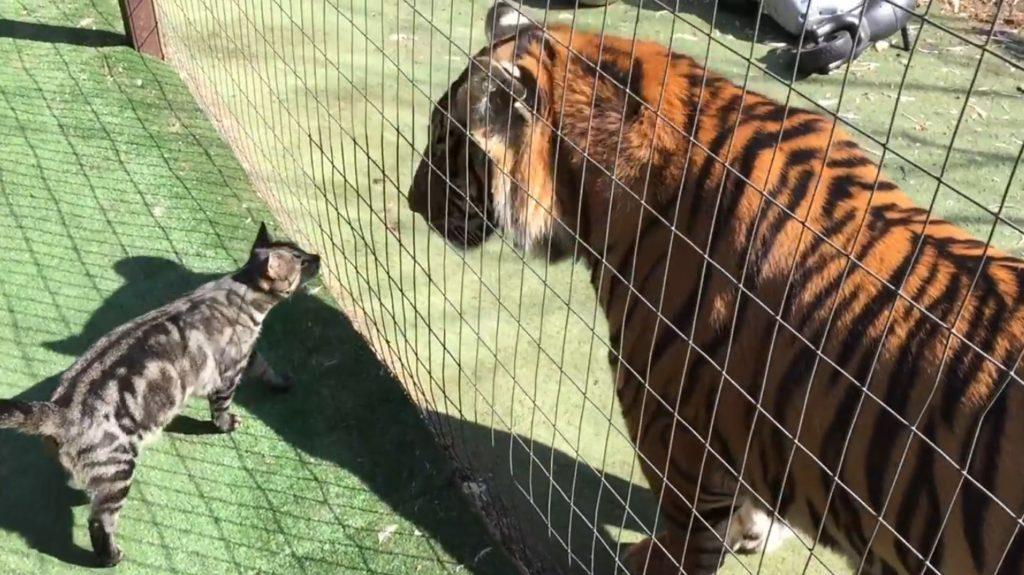 見つめ合うトラと猫。次の瞬間、、!