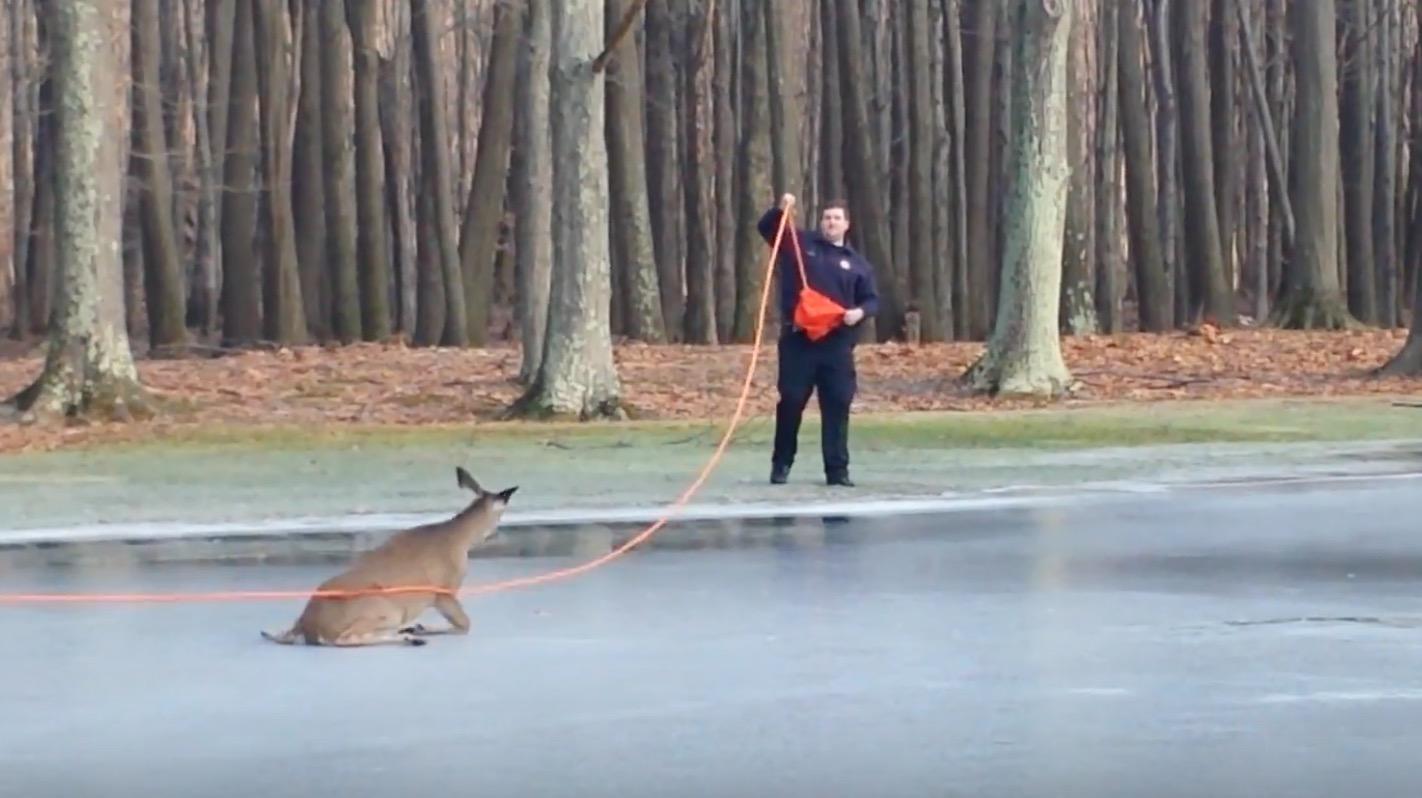 思いもよらない展開に感動!氷の上で動けなくなった鹿を消防士が救出すると、、