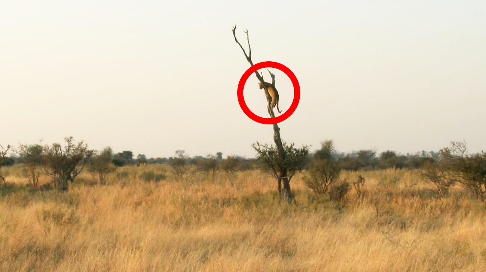 これが野生の身体能力、、この距離から一瞬でこっちに!予想外のスピード攻撃にカメラマンもびっくり!