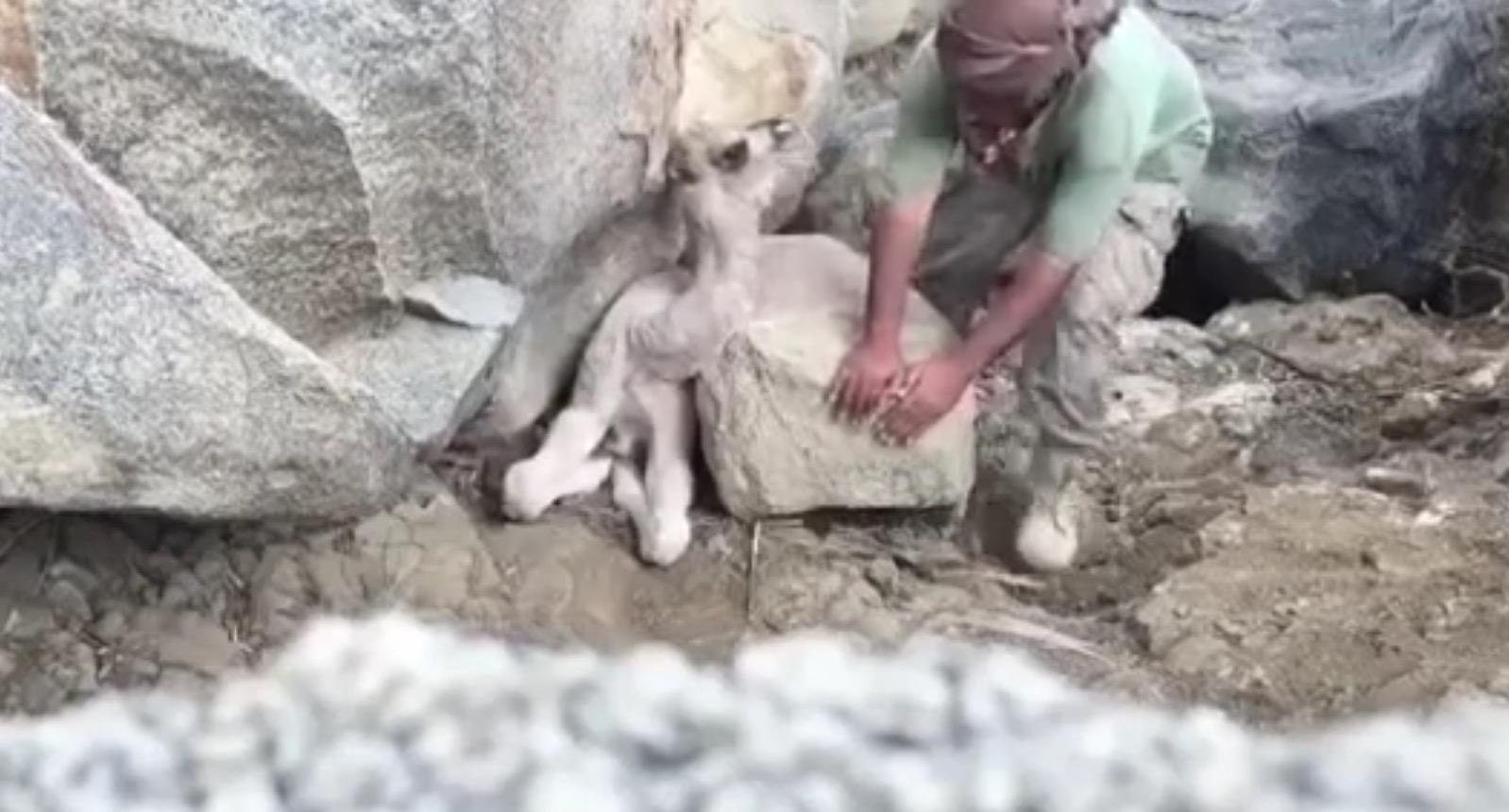 岩に挟まれ哭く我が子を前に何もできない母ラクダ。男性が助けてあげると、、