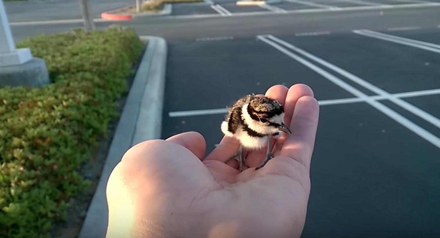 助けた赤ちゃん鳥が両親の元に戻る瞬間。お互い嬉しそうに駆け寄る姿に心打たれる