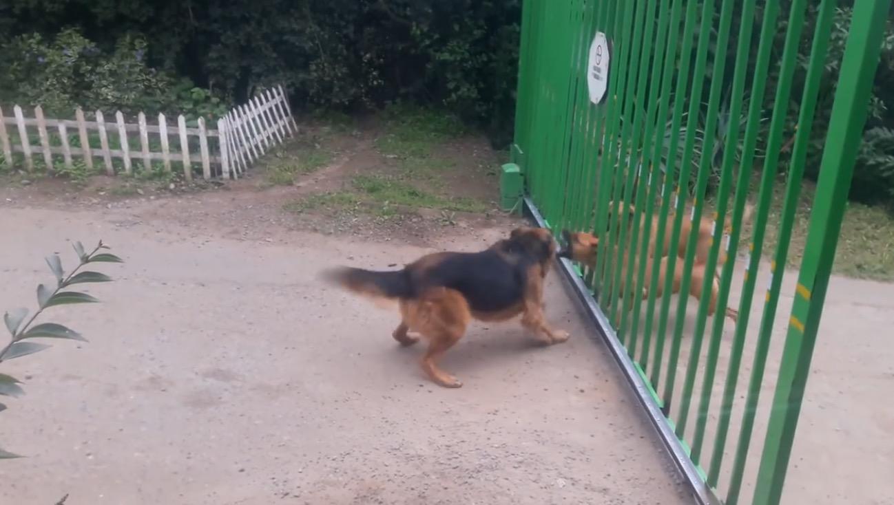まるでコント笑!門越しに凄い剣幕で威嚇し合う犬達。しかし門が開きはじめると、、