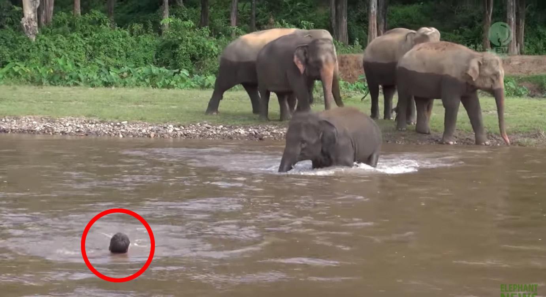 「溺れてる!」その瞬間優しい子象は川の中に飛び込んだ!