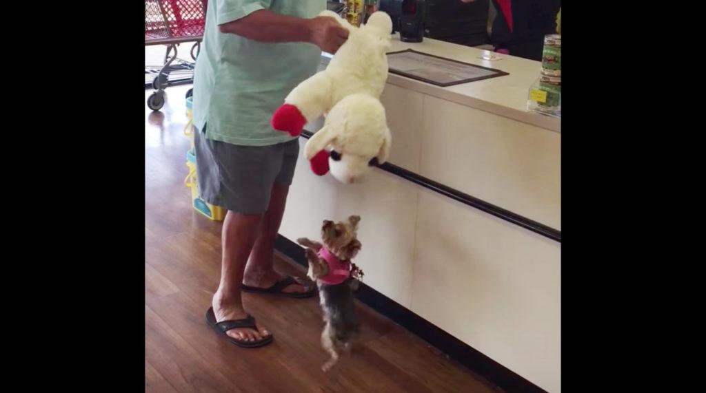 大好きなキャラのぬいぐるみを買ってもらった犬。自分より大きいぬいぐるみを頑張って持っていく姿が話題に