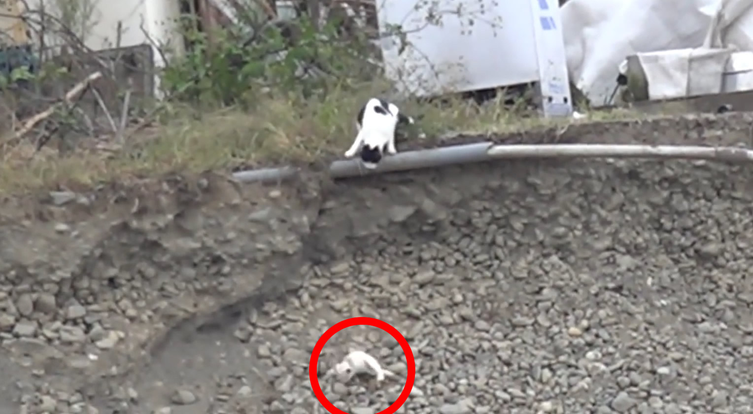 【日本】子猫が崖から転げ落ちたその瞬間、母猫は崖から飛び降りた!