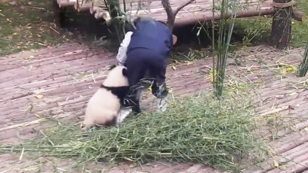 飼育員さんの仕事の邪魔ばかりする、甘えん坊すぎるパンダが話題に笑