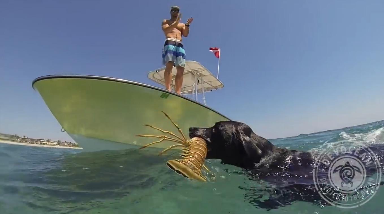 天才犬、海に潜ってロブスターを捕獲!その一部始終