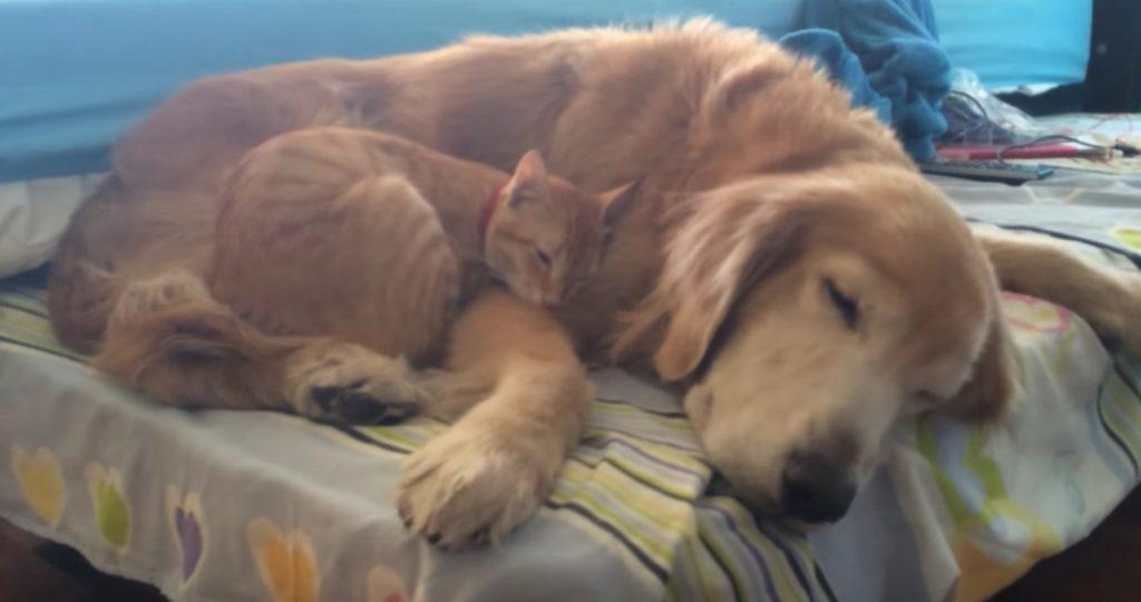 親子以上に親子みたい!小さい頃からずっと一緒のゴールデンと猫の赤ちゃんの成長ムービー