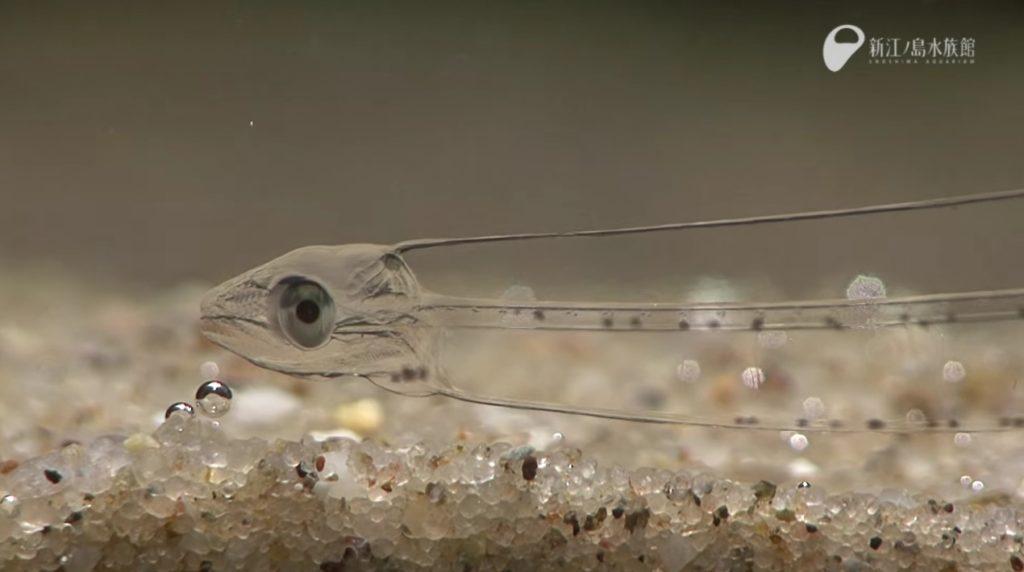 透き通った美しい魚。その正体は誰でも知っているあの魚!?