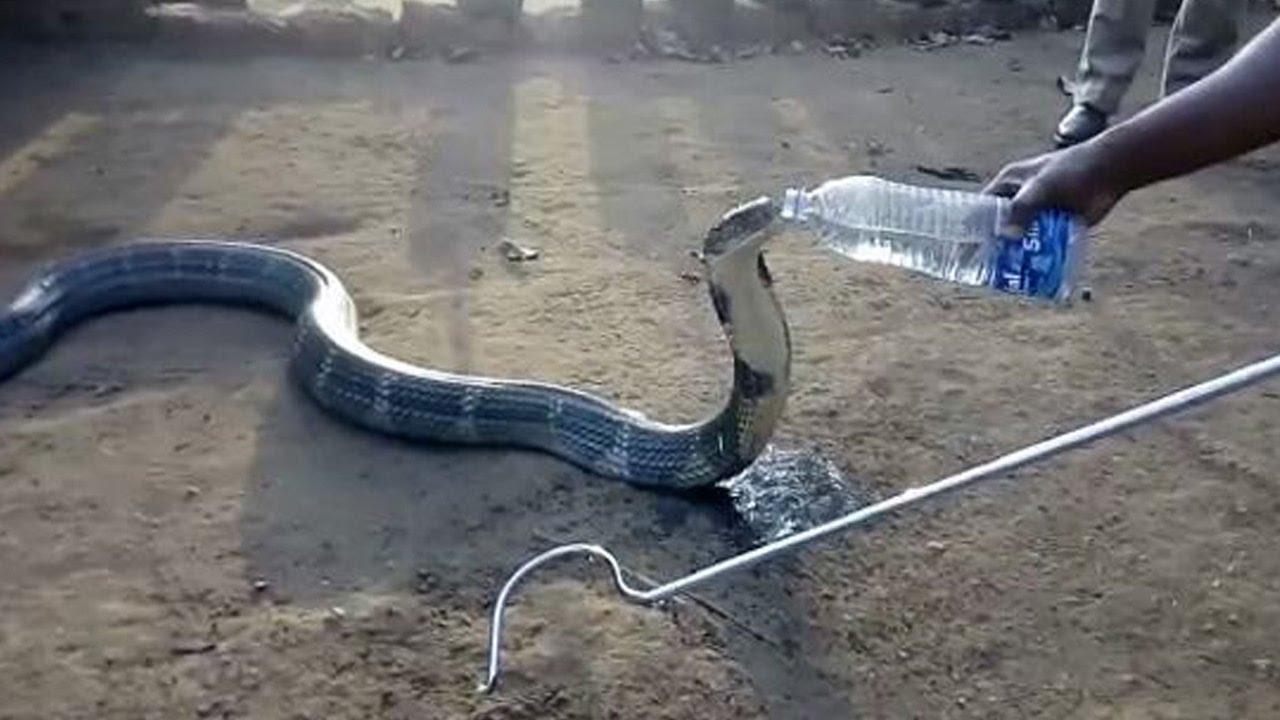 厳しい干ばつのインド、「キングコブラ」と人間の心が通じた瞬間