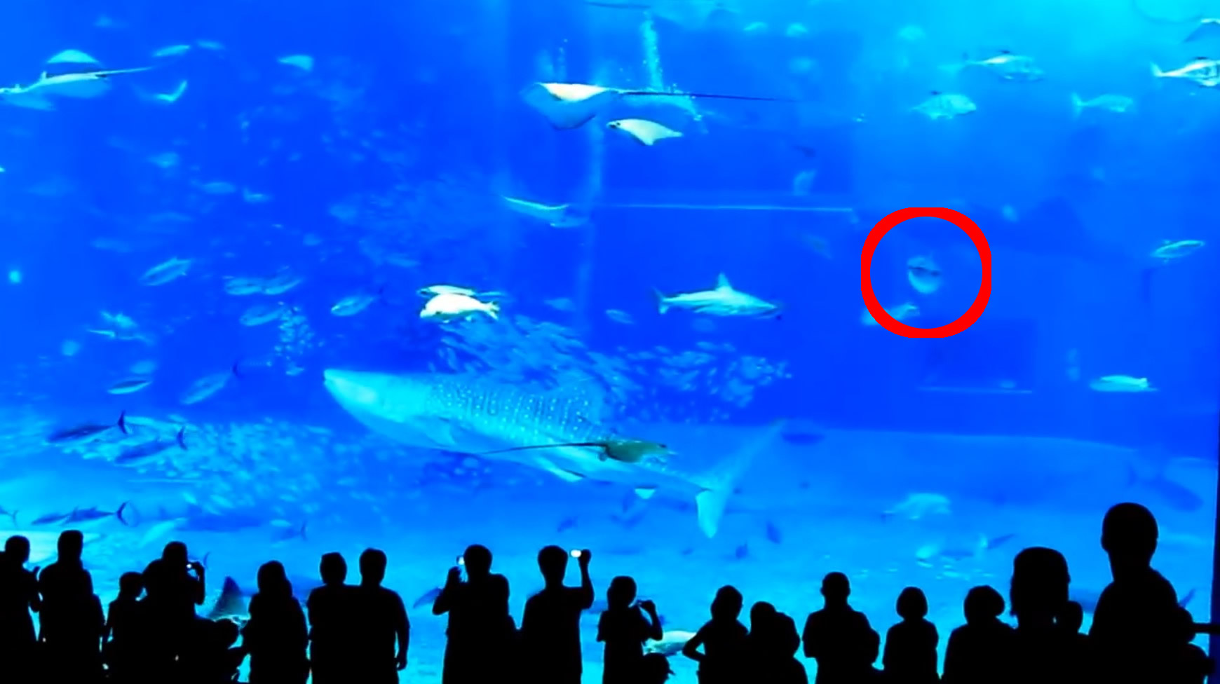 【追記あり】水族館でフラッシュ撮影をしてはいけない理由。。驚いたマグロが水槽に激突