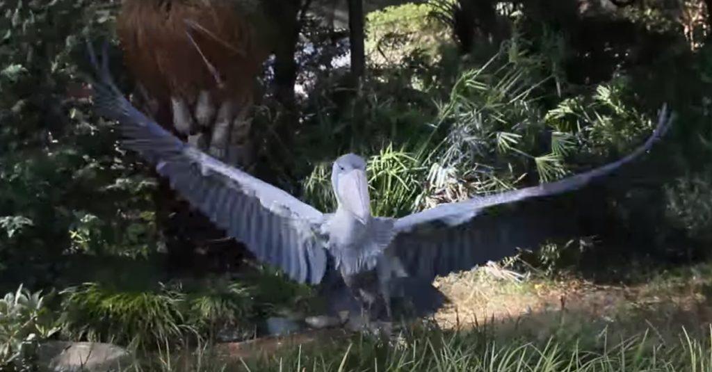 動かないことで有名な「ハシビロコウ」が飛んだ!こんなに早く動くところ見たことない!