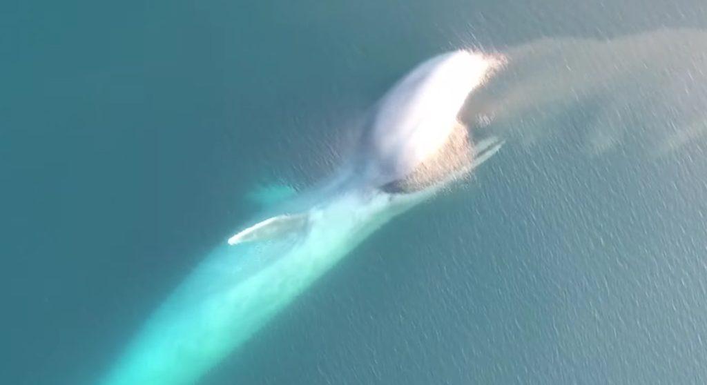 こんなに口が開くとは、、世界最大の生物「シロナガスクジラ」が豪快に捕食する貴重な映像が公開。1年で食べる量は世界の全人口が食べる魚の5倍!