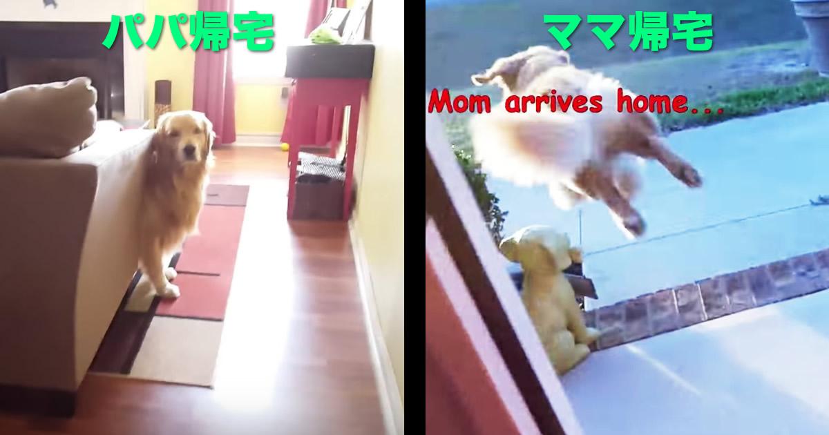 パパが帰宅した時とママが帰宅した時で、愛犬の対応が違いすぎて泣ける笑