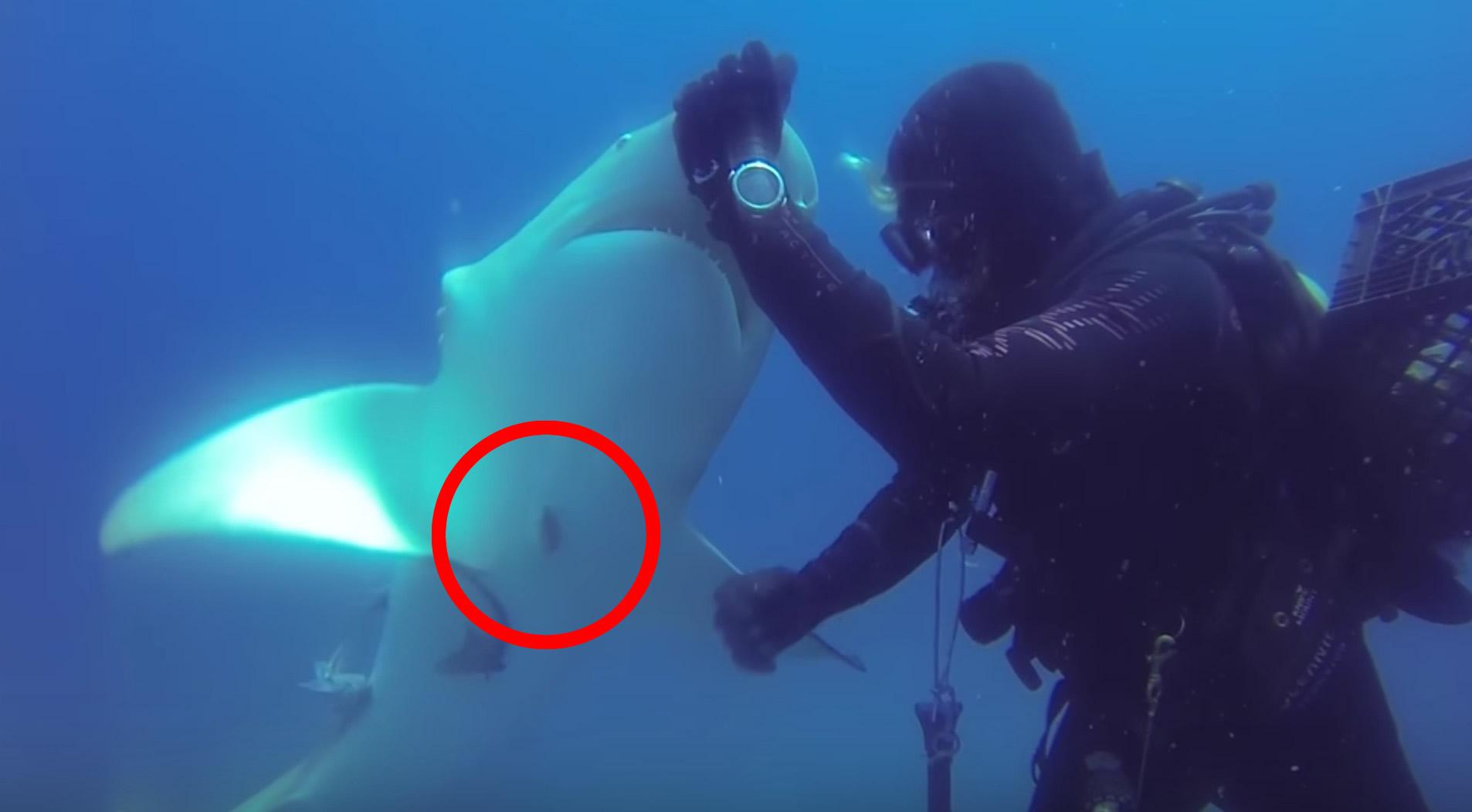 大きな釣り針が刺さったサメ。助けると、感謝の気持ちを伝えて懐いてきた