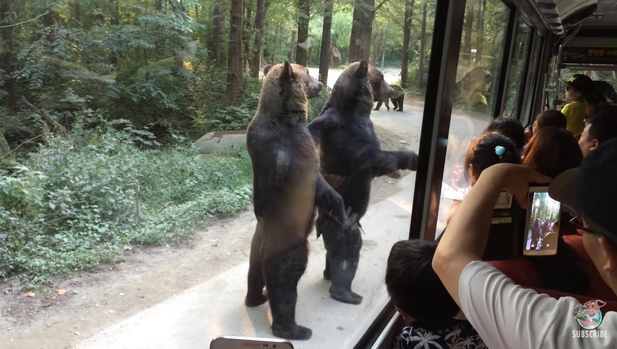 中に人間が入っているとしか思えない、、二足歩行する熊