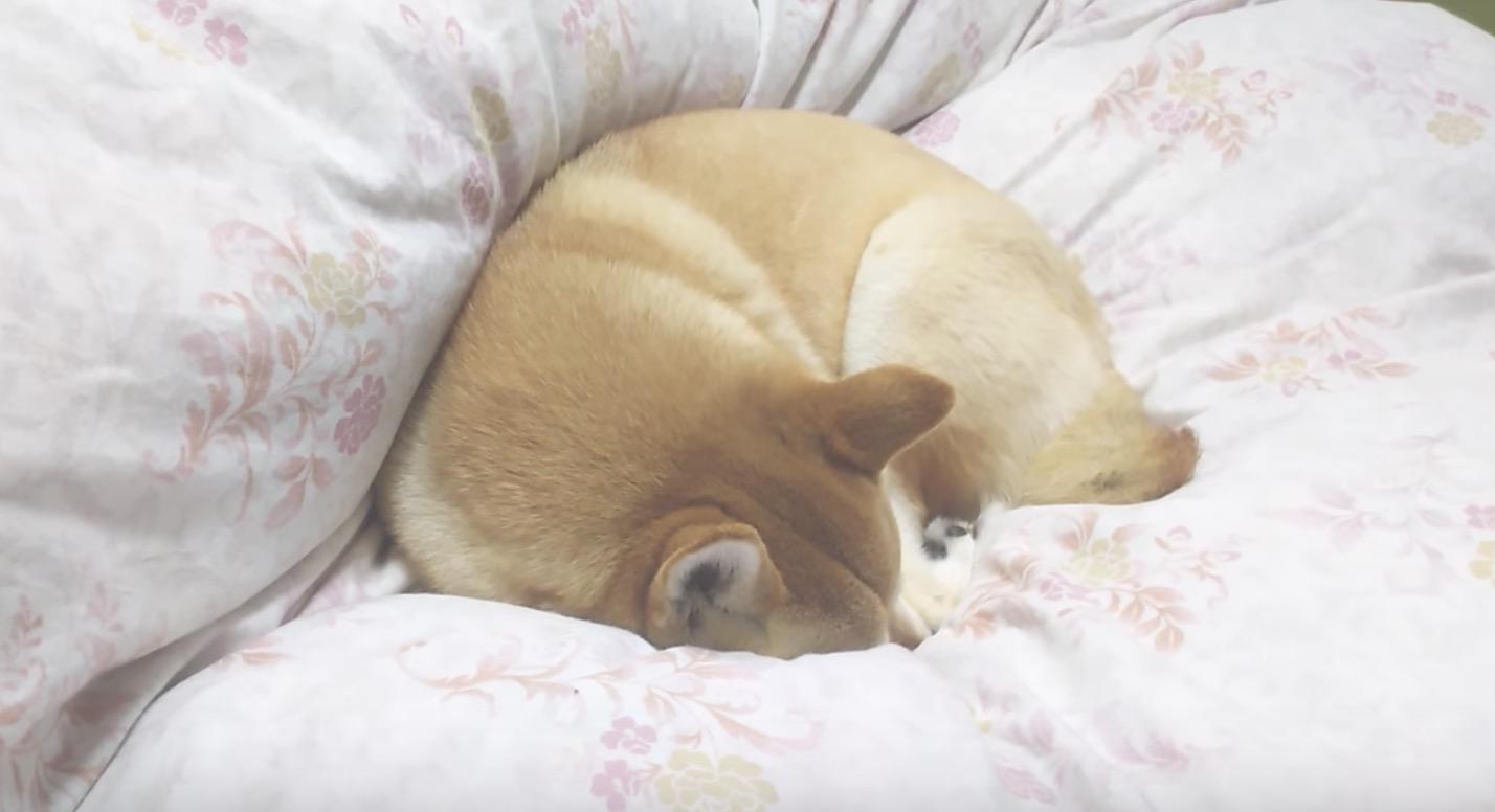 熟睡中に帰って来た飼い主さん。それに気付いた犬が寝呆けてて可愛い笑