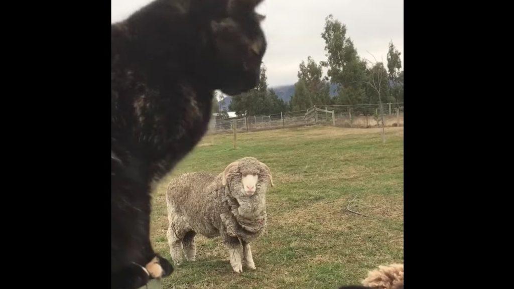 好奇心の強い羊に迫られた猫の表情が面白い笑