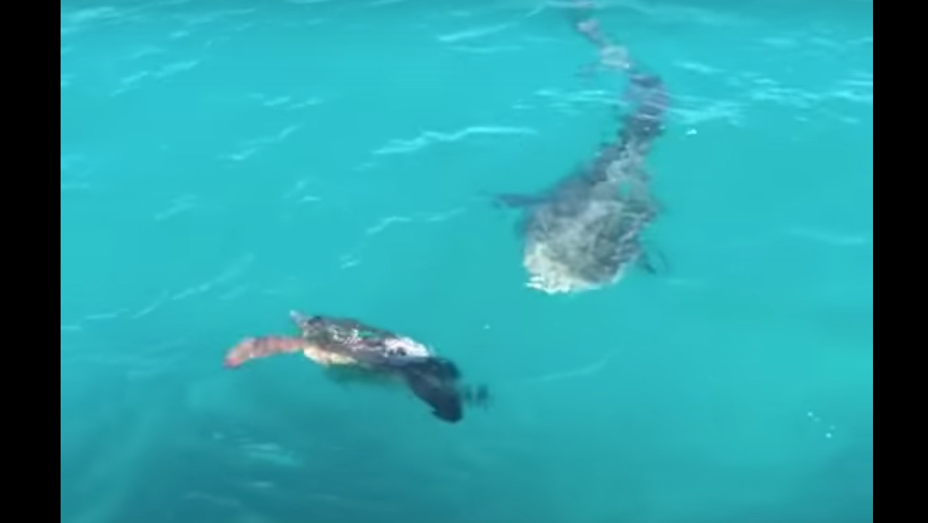 サメの攻撃を絶妙にかわすウミガメ。亀の戦い方がスゴい