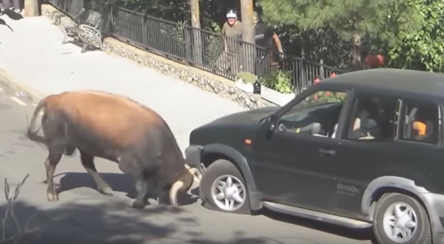 四駆の車を持ち上げてしまう牛のパワーがヤバい!