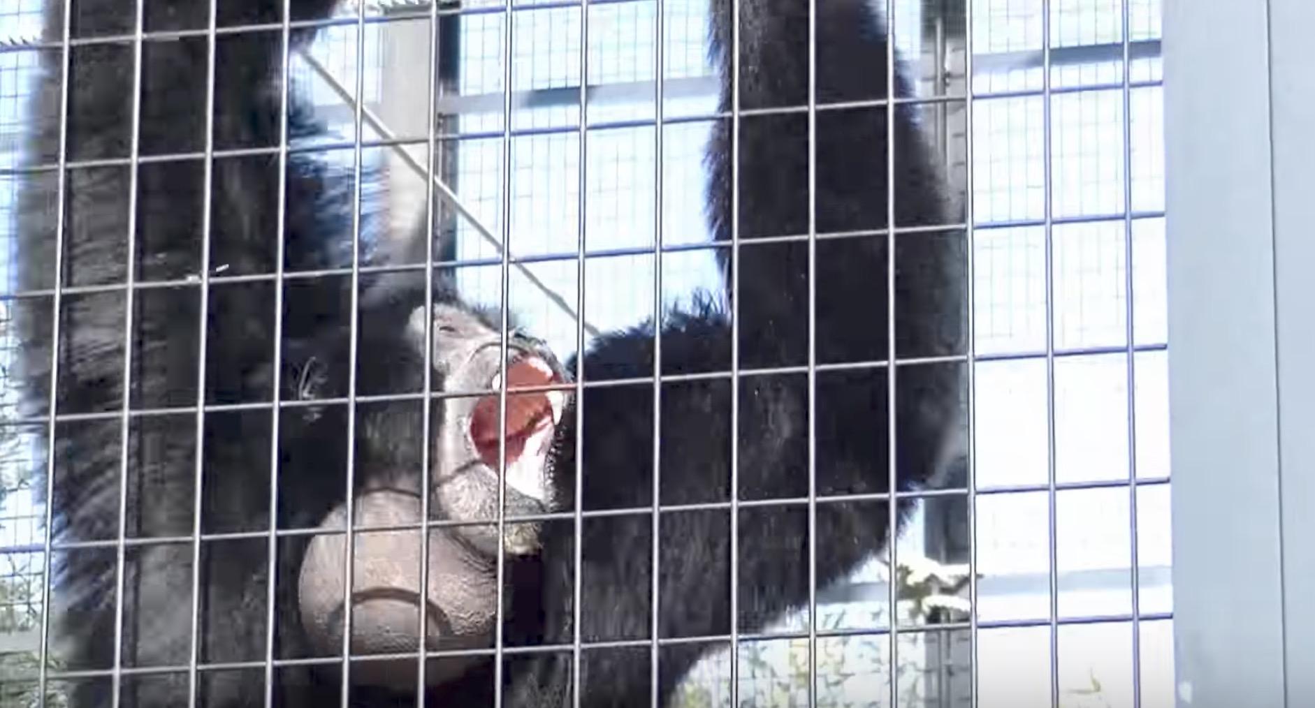 おっさんの叫び声みたい!東山動植物園の「フクロテナガザル」の声が話題に