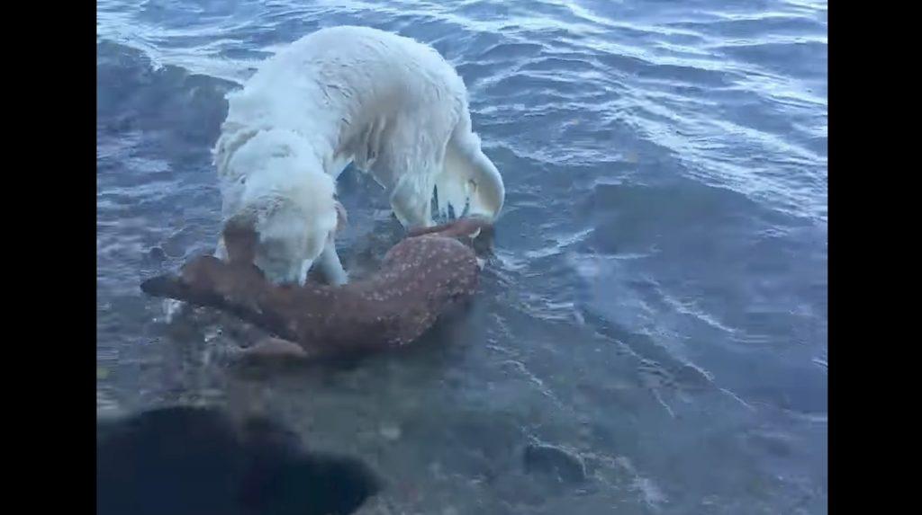 犬が溺れる子鹿を救出し話題に!