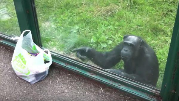 ペットボトルの飲み物を「持って来い」と指示するチンパンジーが人間らしすぎる笑