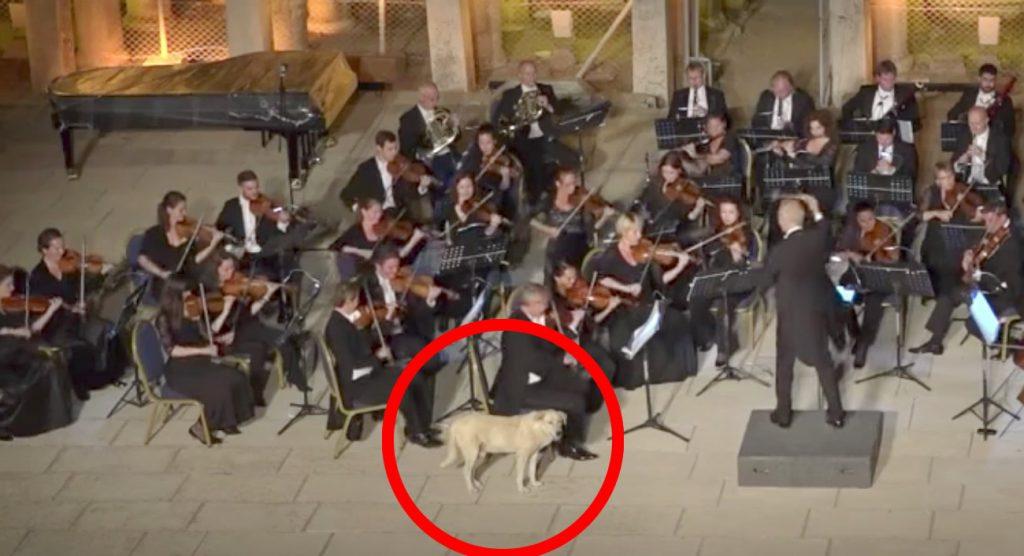オーケストラの演奏中に犬が乱入!VIP席でまさかの大あくび笑
