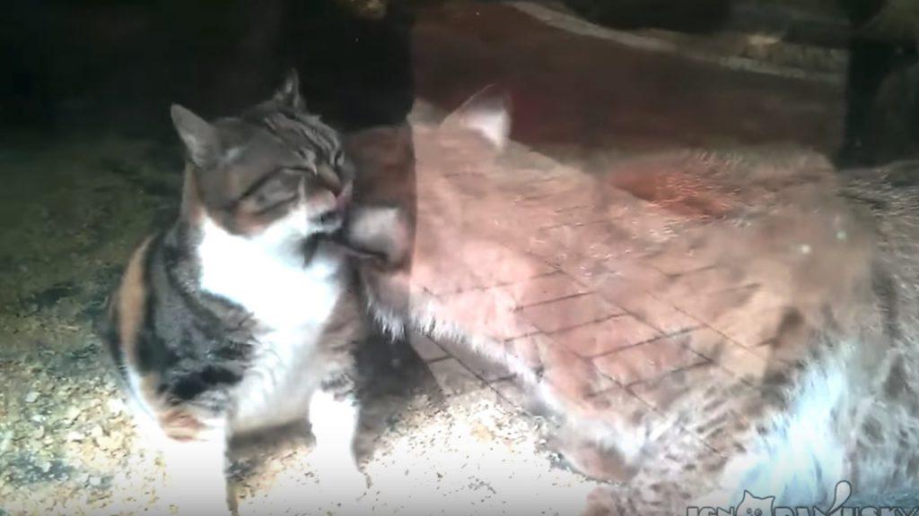 子供の頃から仲良く暮らしてきた「オオヤマネコ」と「三毛猫」。2匹の仲の良さに心温まる