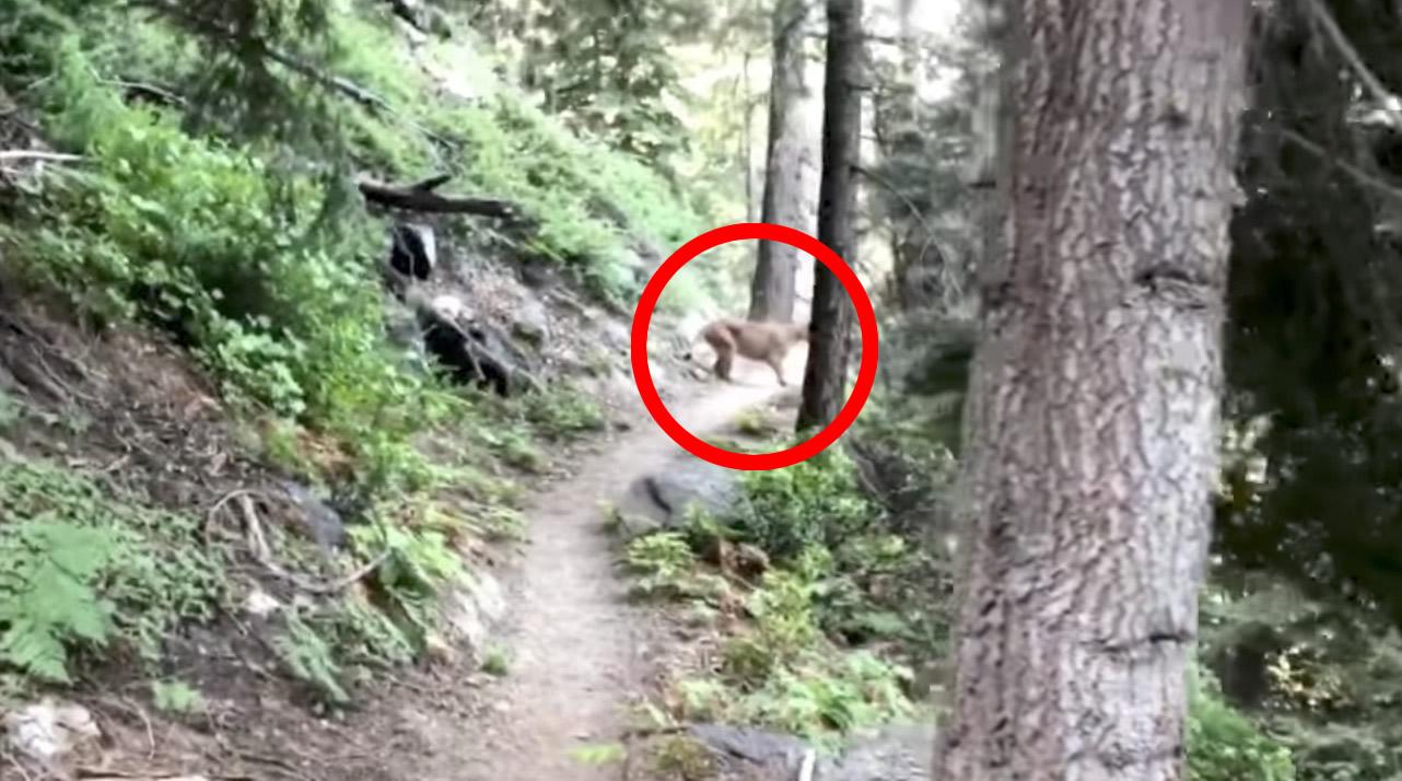 林道でピューマに遭遇!森に逃げたと思ったら、いつの間にか至近距離で見つめられていた、、!