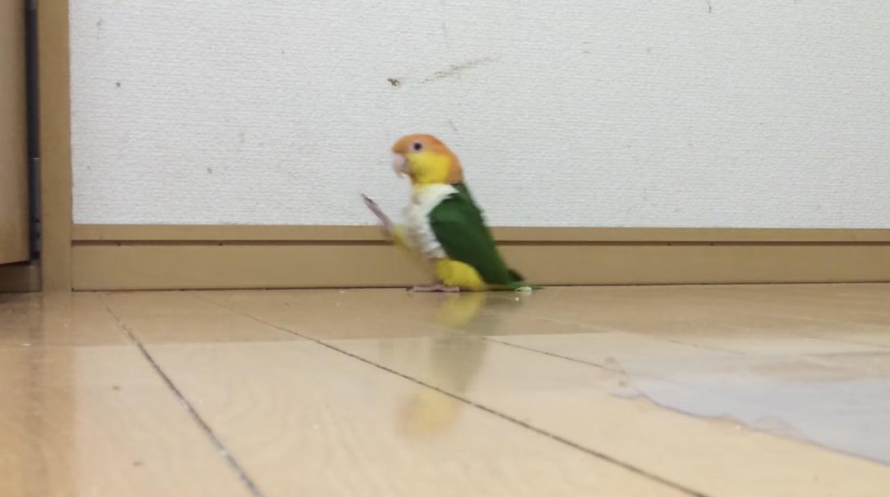 この日本のインコの歩きっぷりを見れば「元気になれる!」と海外で話題に笑