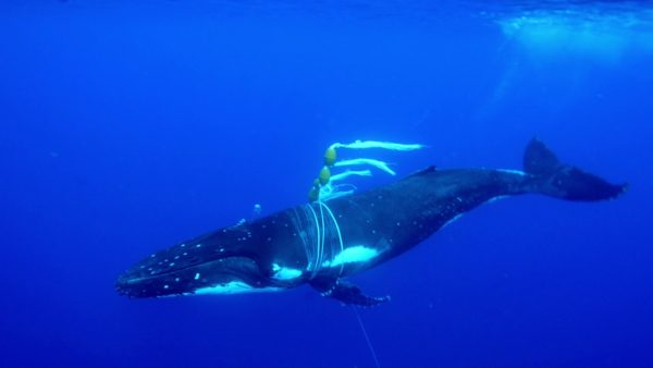 ザトウクジラの母子を発見。しかし、母クジラにはブイとアンカーが絡まっていた。。